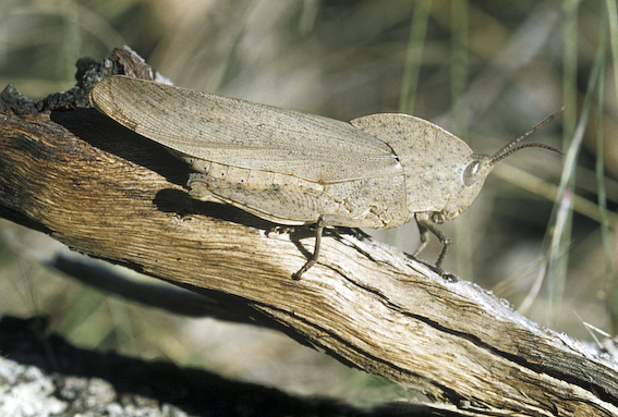 The Dead Leaf Grasshopper, Goniaea sp. (Family Acrididae)