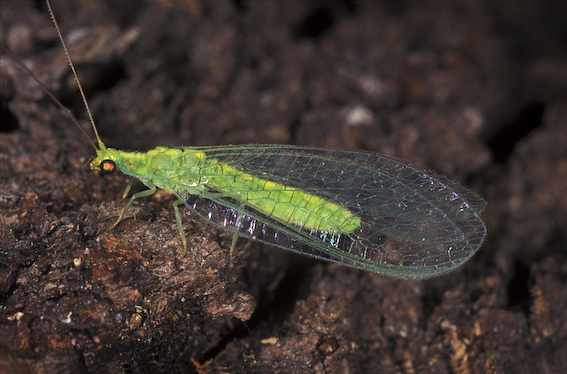 Lacewings - Queensland Museum