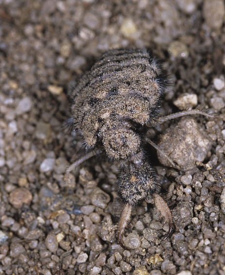 Head and jaws of an antlion larva