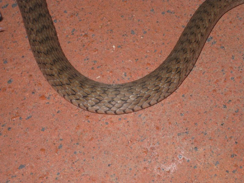 midbody photo keelback snake